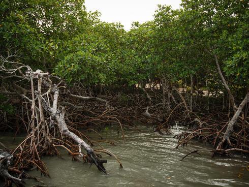 Mangroves in Belize.