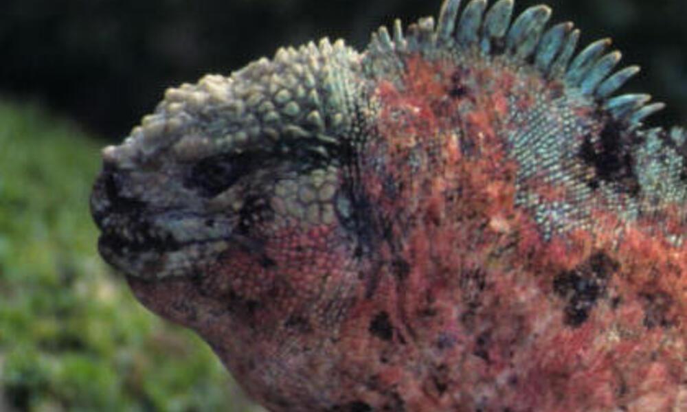 Marine iguana (Amblyrhynchus cristatus) profile. Galapagos Islands, Ecuador.