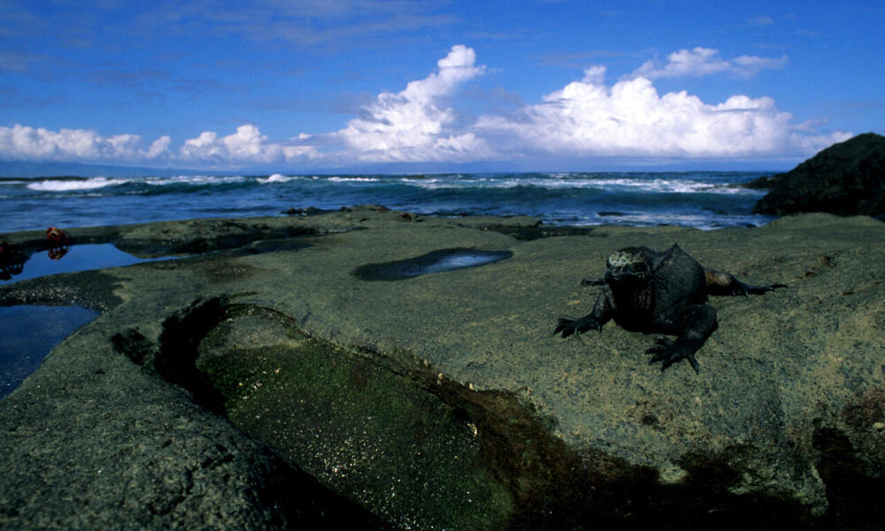 Marine iguana (Amblyrhynchus cristatus) resting on a rock overlooking the water. Galapagos Islands, Ecuador.