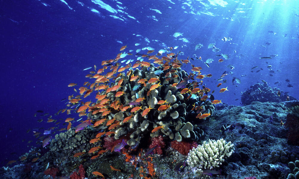 Swarms of anthias fish shelter near coral outcroppings and feed in the passing current.