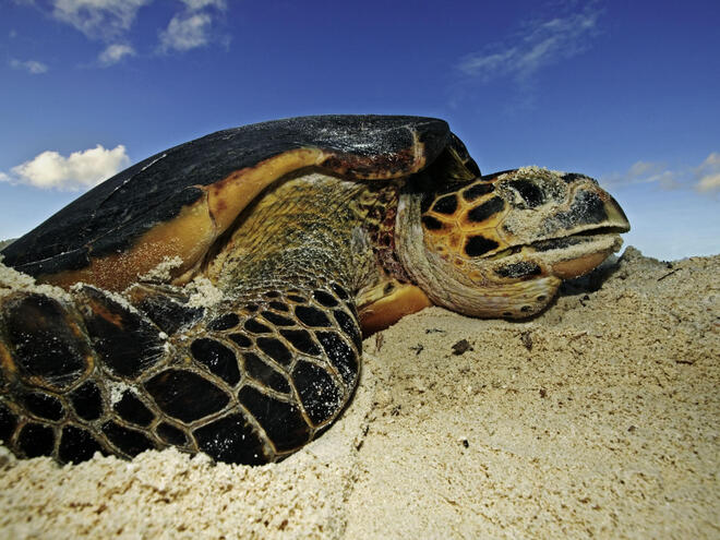 Close-up of a Marine Turtle in the sand.