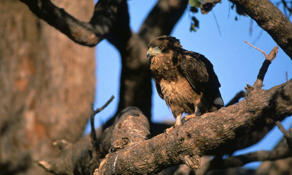 A martial eagle perches in a tree in Botswana.