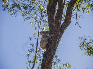 Maryanne  the koala climbs a tree after being released into wild
