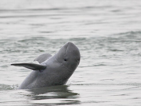 Irrawaddy river dolphin in Cambodia