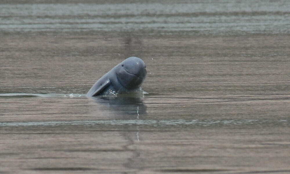 Mekong Irrawaddy Dolphin