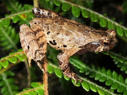 Middle-earth Toad