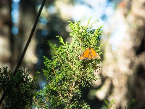monarch on branch
