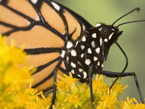 monarch up close