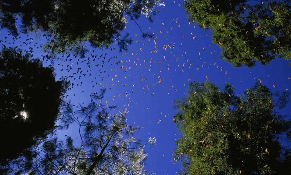 Swarm of Monarch butterflies