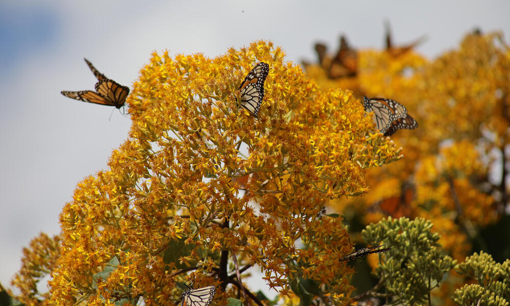 Monarch butterflies in Mexico reserve