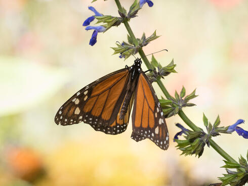 Monarch sits on flowering branch