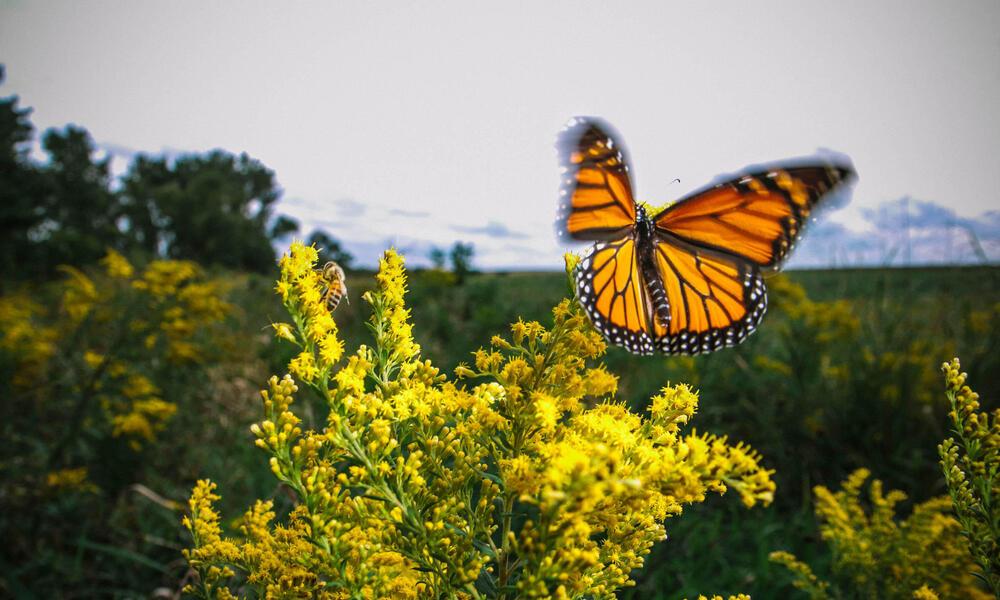 Monarch among goldenrod