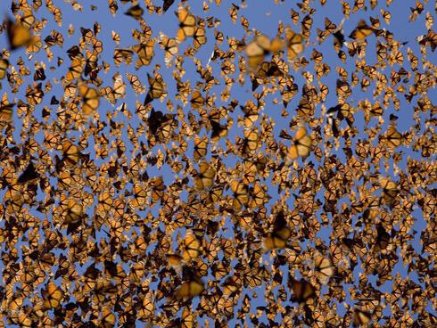 Cloud of monarch butterflies
