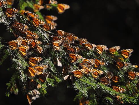 Monarch butterflies on a branch.