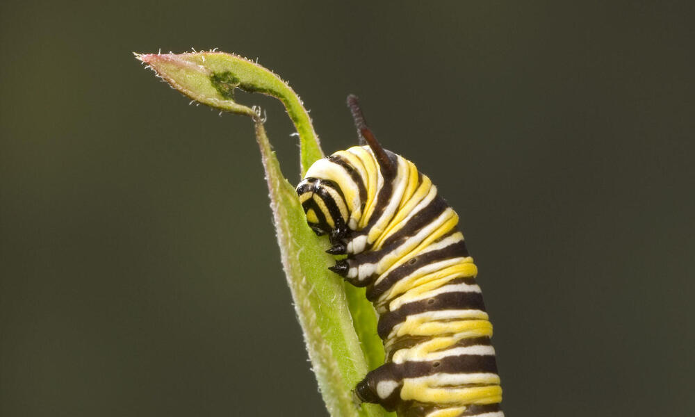 Caterpillar larva of monarch butterfly on Milkweed leaf, USA