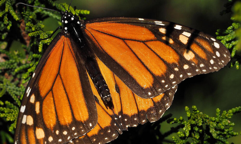 A monarch butterfly on a branch.