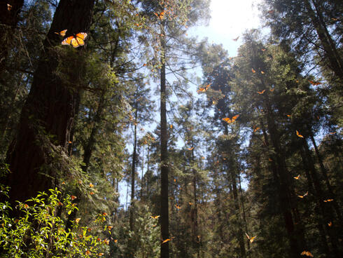 monarchs in trees in Mexico