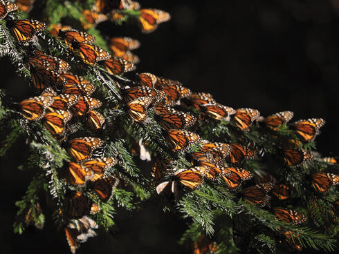 Monarchs settled on tree branch