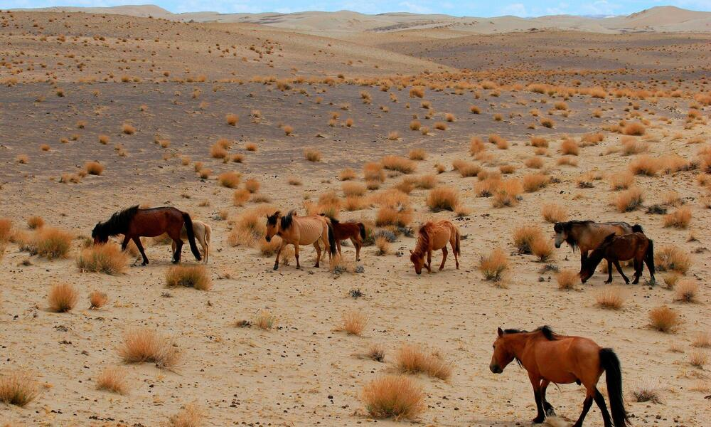 A group of wild horses grazing on a desert landscape