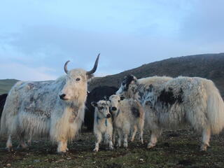 An adult yak stands with two baby yaks staring at the camera with a mountain range in the background
