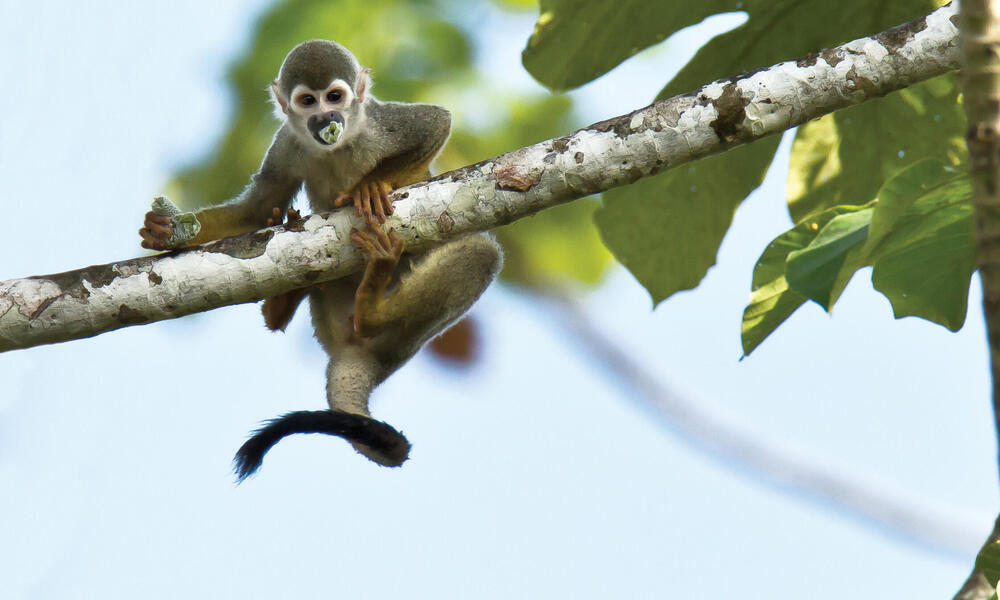monkey on branch