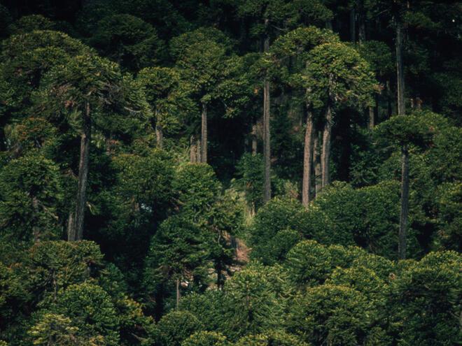 Monkey puzzle tree