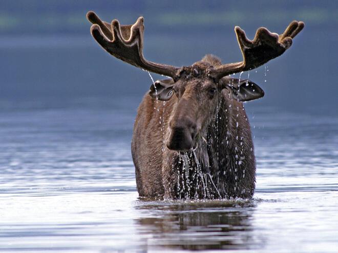 moose in water
