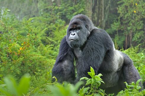 Mountain Gorilla (Gorilla beringei) silverback in Susa group, Rwanda