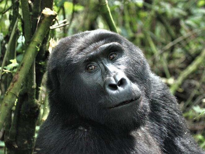 Mountain Gorilla (Gorilla beringei beringei) in the Bwindi Impenetrable Forest National Park, Uganda