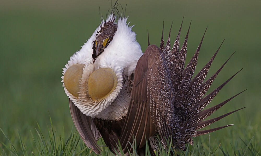 NGP Greater Sage Grouse