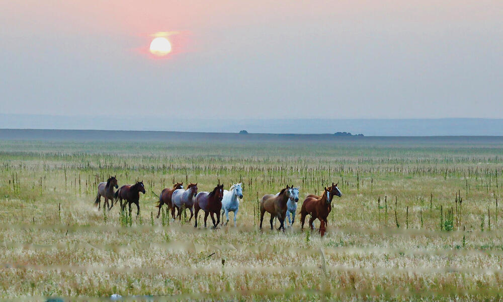 Galloping horses on the plain at sunset