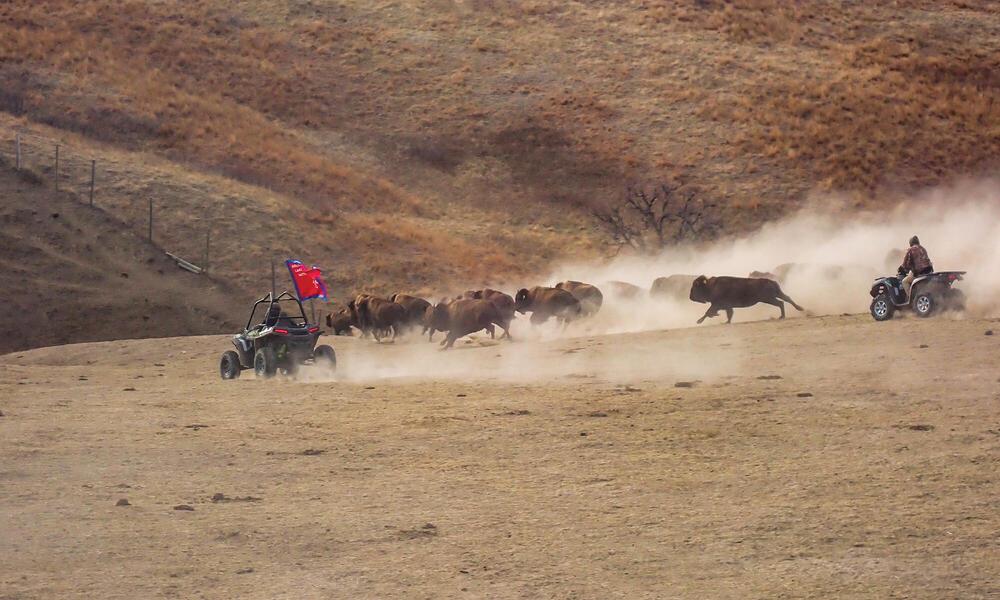 Herding buffalo on ATVs