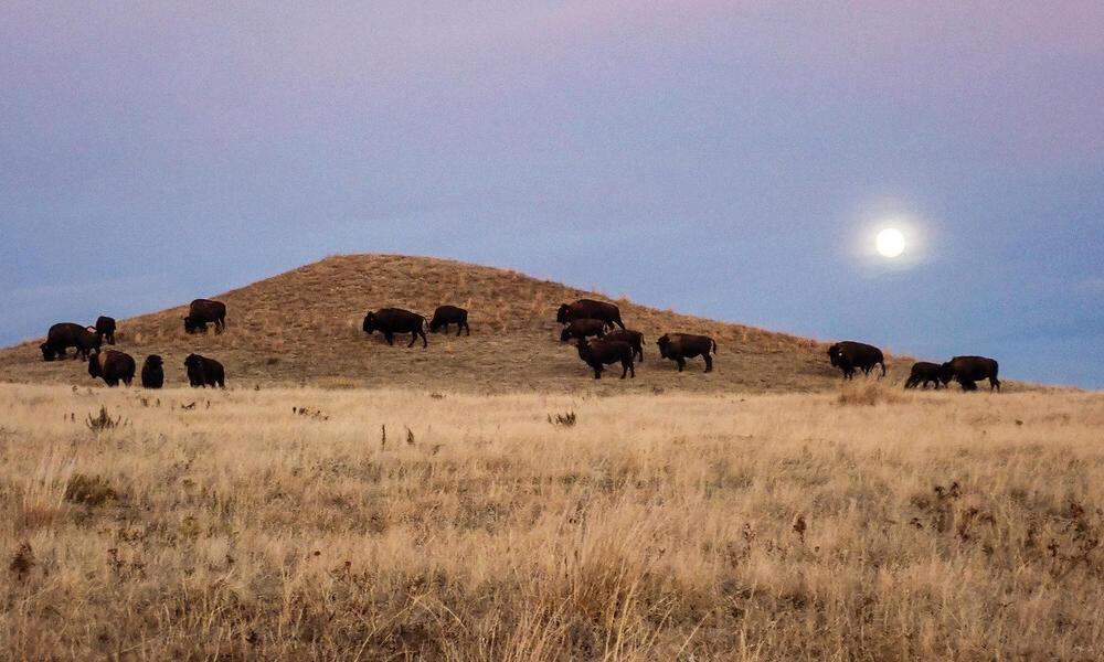 Buffalo grazing on a hill