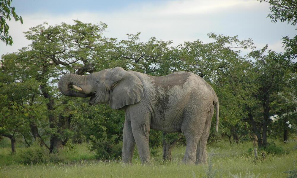 Namibia Elephant