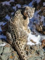 Nationwide Snow Leopard Population Assessment of Mongolia Brochure