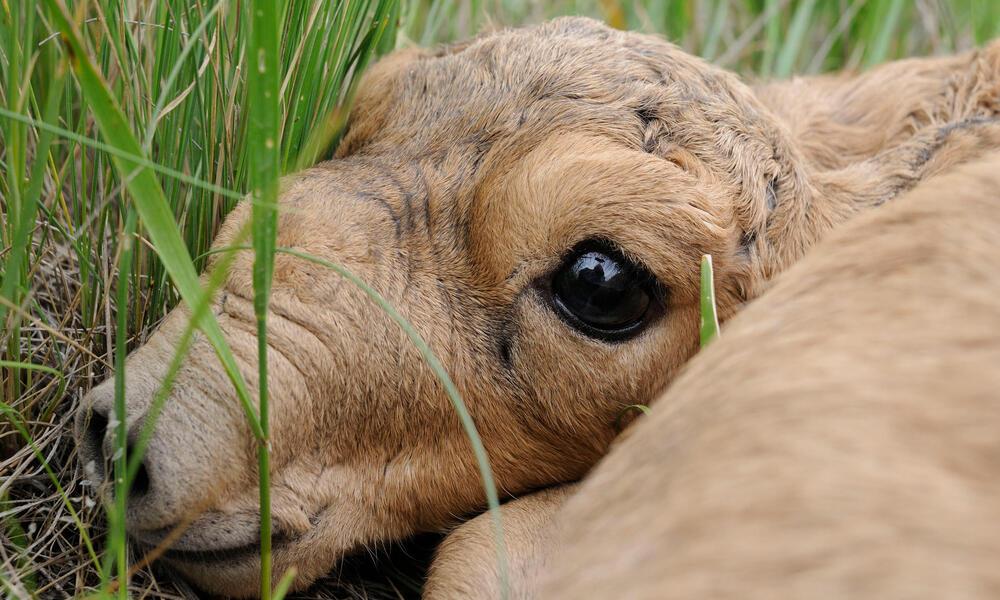 Newborn saiga antelope (Saiga tatarica) lying in grass, Cherniye Zemli (Black Earth) Nature Reserve, Kalmykia, Russia