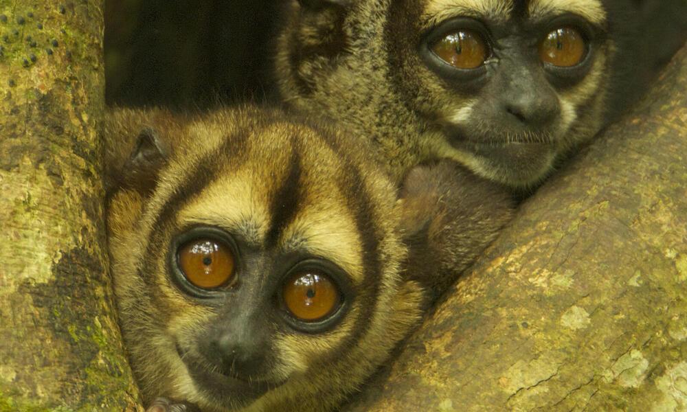 Night Monkeys (Aotus vociferans) in a tree cavity