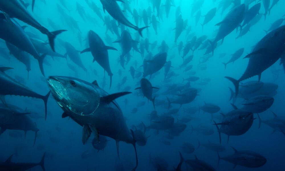 Northern bluefin tuna (Thunnus thynnus) in tuna ranching company's (Ecolo Fish) cages, being fattened for the sushi market, Mediterranean Sea, Spain.