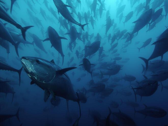 Northern bluefin tuna