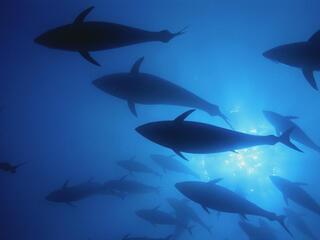 Northern bluefin tuna swim inside a 'Mattanza' net off the island of San Pietro, Italy.