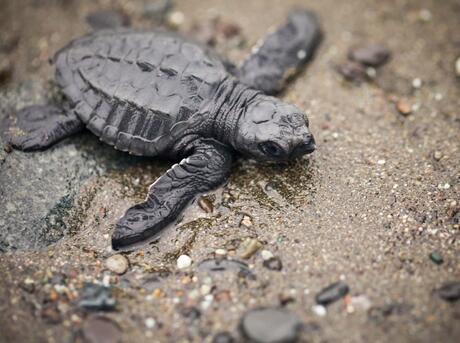 Olive Ridley sea turtle (Lepidochelys olivacea) on the beach in Punta Banco, Costa Rica