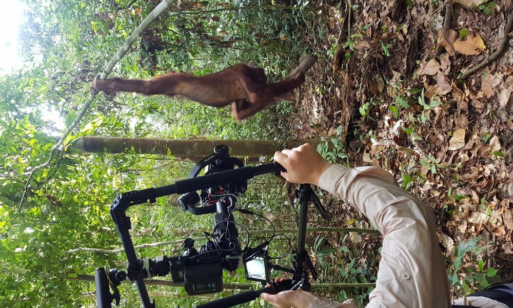 Behind-the-scenes photo of a crew member filming an orangutan in Borneo.