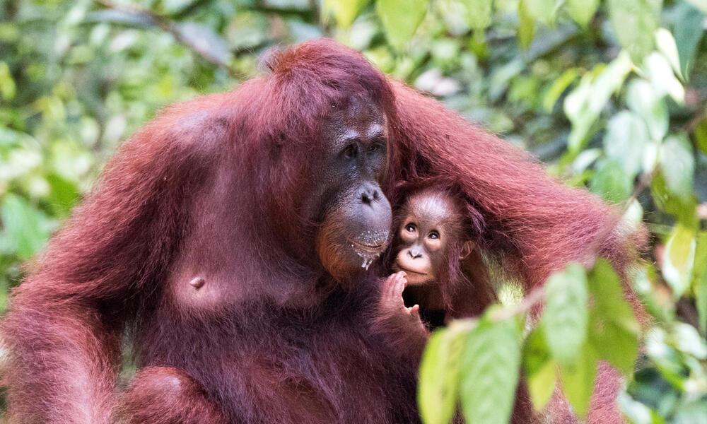 Bornean orangutan (Pongo pygmaeus) with infant at Camp Leakey on Borneo Island, Indonesia