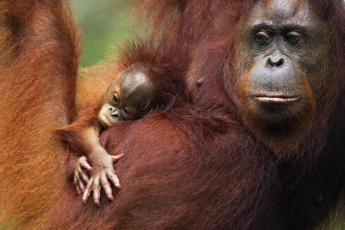 Orangutan and baby