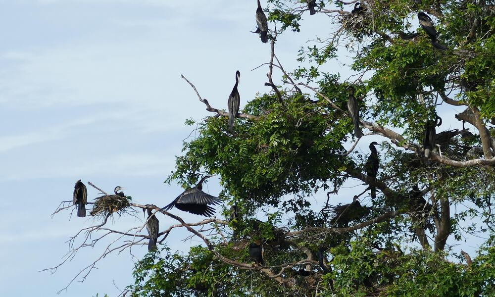 Oriental darters perch in Tram Chim National Park