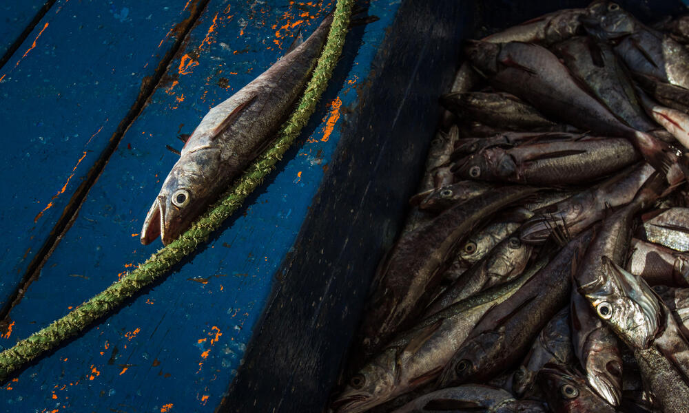Southern hake are smaller and in short amount