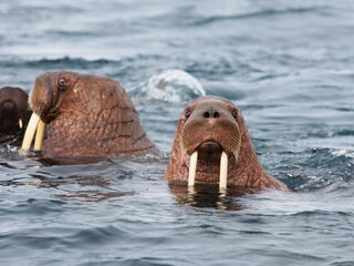 Pacific walrus swimming