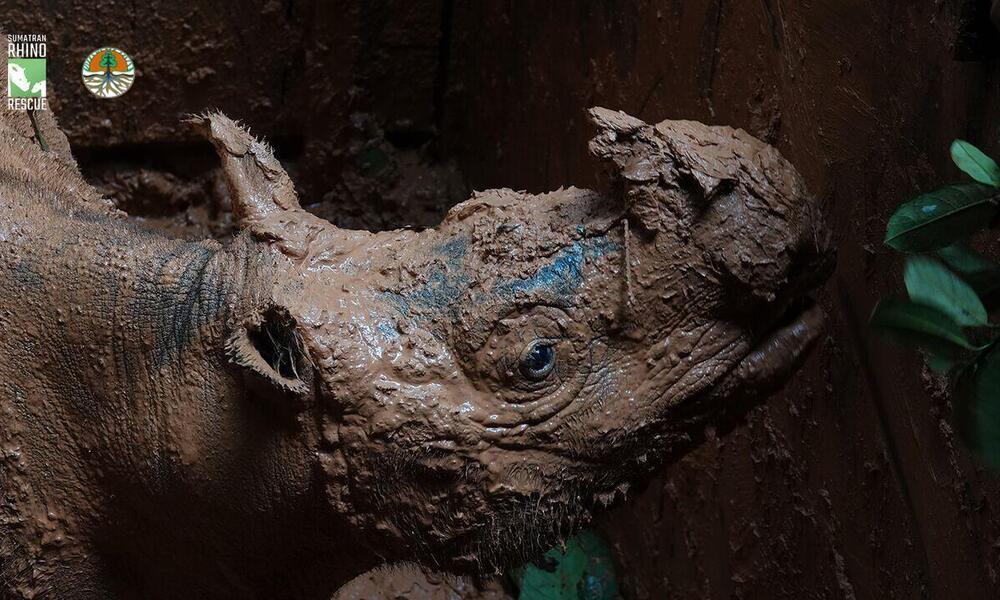 Pahu Sumatran Rhino