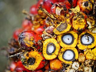 Close-up of palm fruit, Sumatra, Indonesia