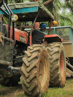 Farm tractor collecting harvested oil palm